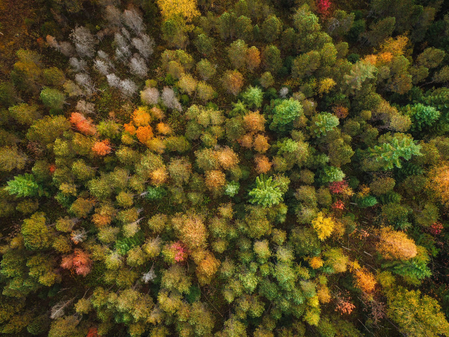 Aerial photograph: autumn color explosion at Hochmoor Rothenthurm