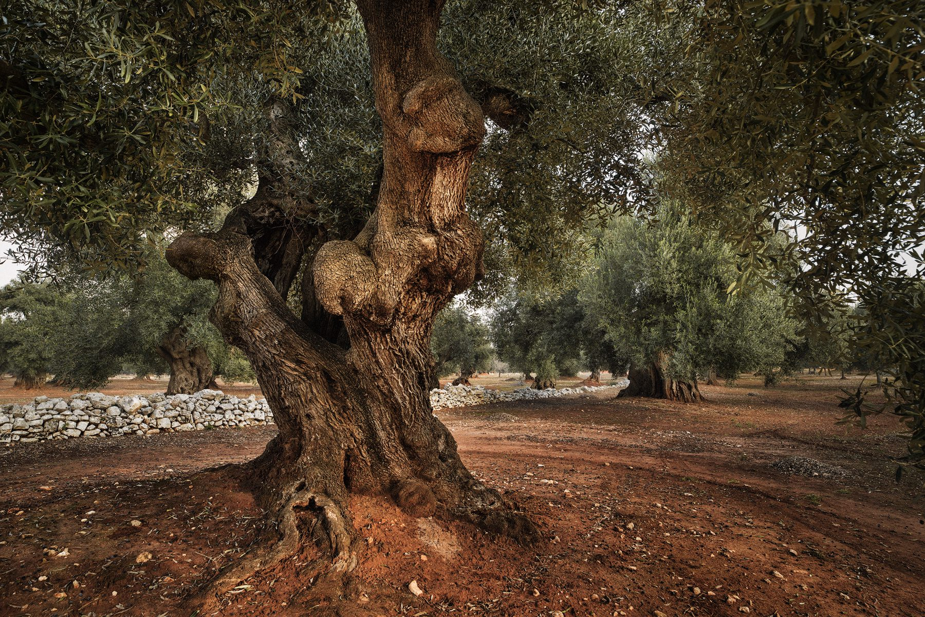 Italy, Ostuni - the place where the old olive trees are. A 1000 year old olive tree - 1000 year old olive oil tradition © by Gerry Pacher