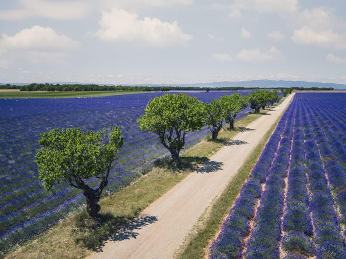 Frankreich - France - Provence - Valensole - Strasse durch ein Lavendelfeld © by Gerry Pacher