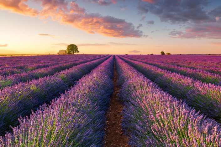 When the Bees awake!!! France Provence Valensole Lavender Field