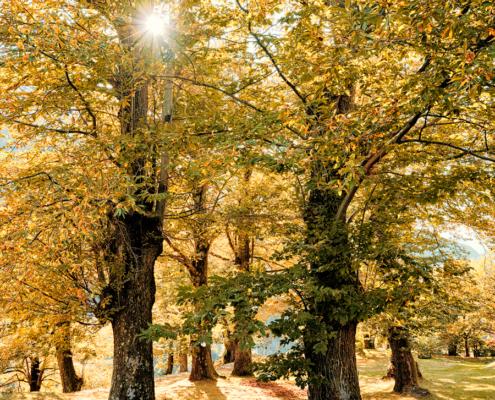 Maloja, Bergell, Castasegna - Bregaglia - Edelkastanienwald mit Herbstsonne